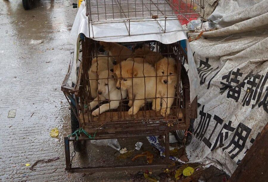 کرونا به داد جانوران رسید ، خوردن گوشت سگ و گربه در چین ممنوع شد