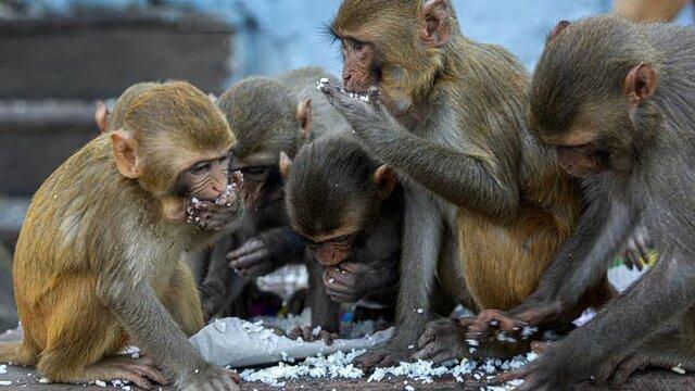 میمون ها در هند نمونه خون بیماران مبتلا به کووید-19 را دزدیدند