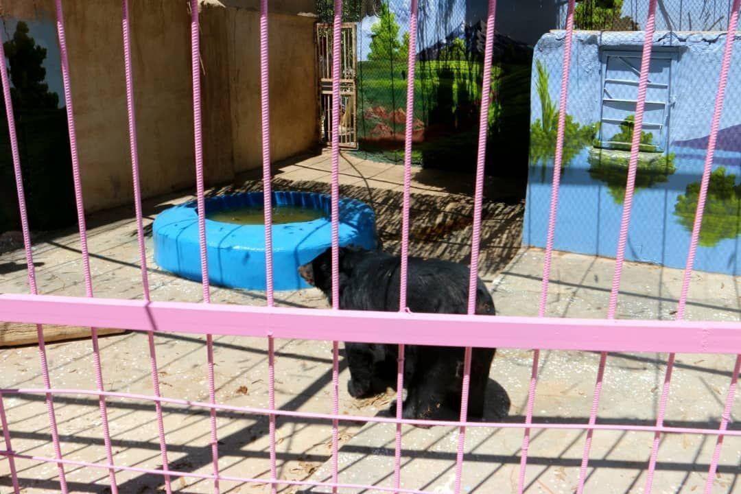 خبرنگاران خرس آسیایی به مکان جدیدی در باغ وحش چاه نیمه زهک منتقل شد